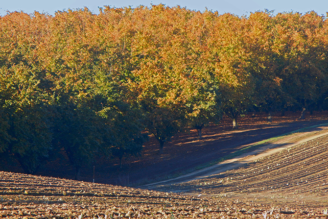 Autumn Iris Field and Filbert Grove