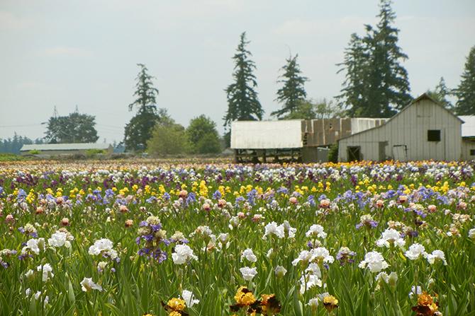 Barn and Iris Fields