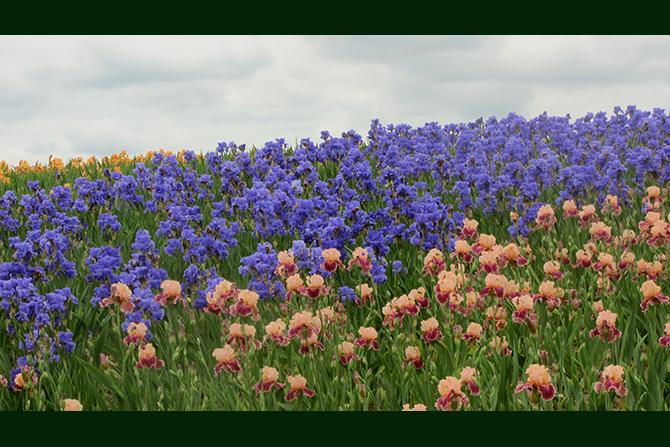 Iris Field and Sky