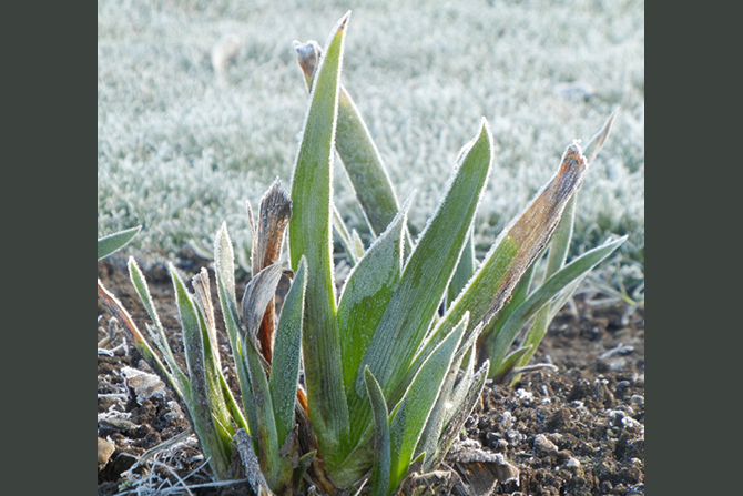 Frosty Iris Leaves