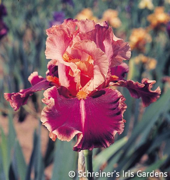 Impressionist Tall Bearded Iris