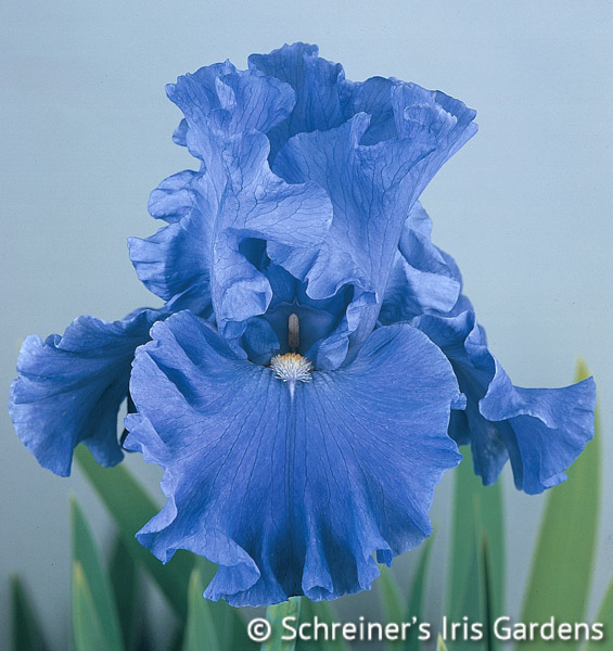 Jazz Me Blue