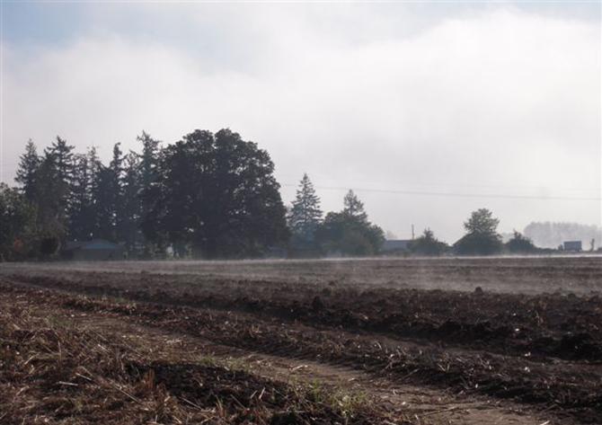 Foggy Iris Field