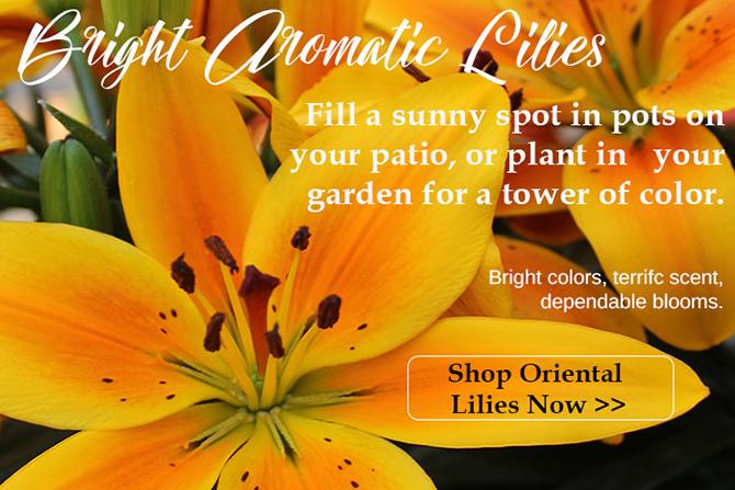 Oriental Lilies for the Summer Garden