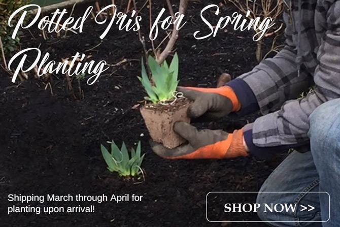 Potted Iris Collections for Spring Shipping
