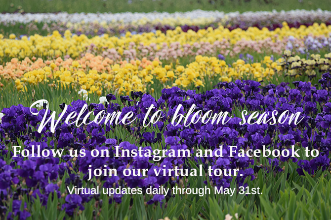 Virtual Iris Bloom Season 2020