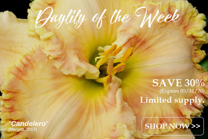Daylily of the Week Candelero Save 30 Percent