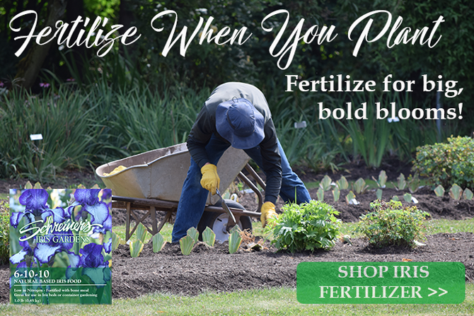 Fertilize Iris When Your Plant