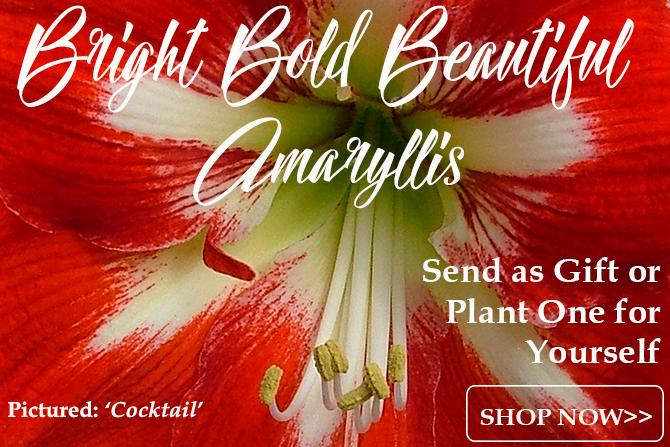 Bold Amaryllis