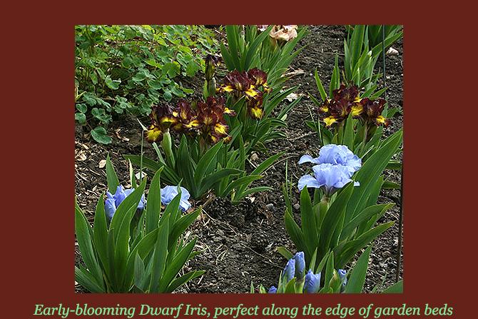 Dwarf Iris Edge