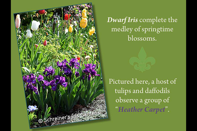 Dwarf Iris Blooming with Tulips