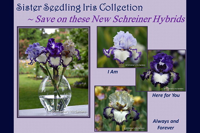 Sister Seedling Iris Collection