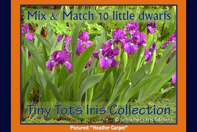 Tiny Tots Dwarf Iris Collection