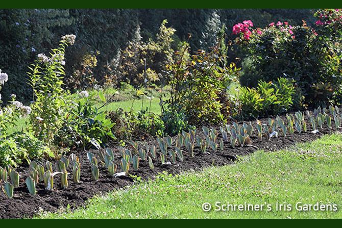 Iris Garden Planting