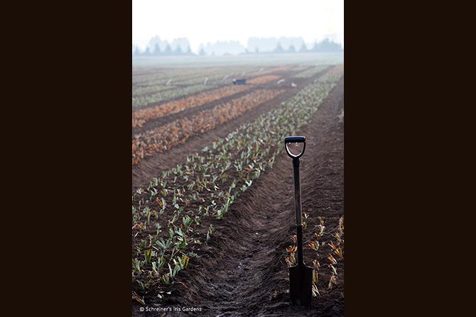 Planting Dwarf Iris