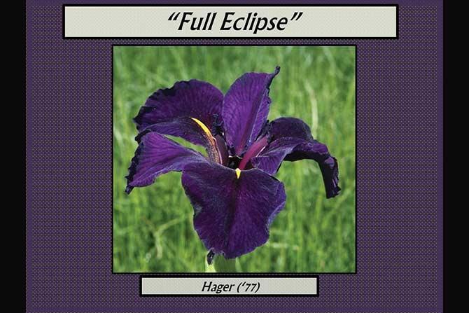 Full Eclipse Louisiana Iris