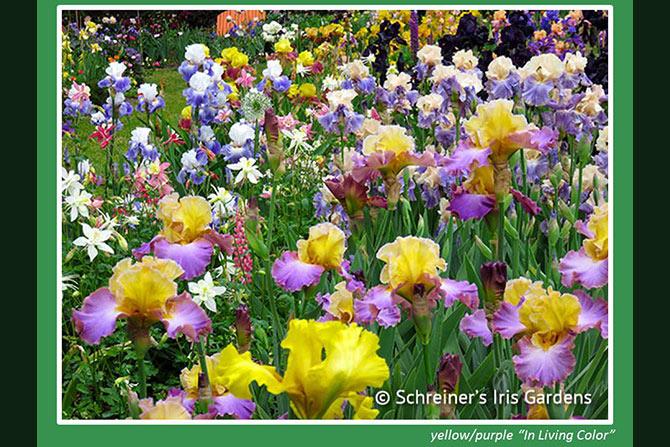 In Living Color Blooms in Garden