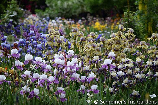 Iris Display Garden
