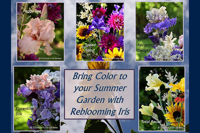 Summer Blooming Iris