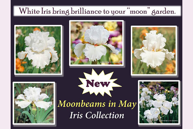 White Iris Collection