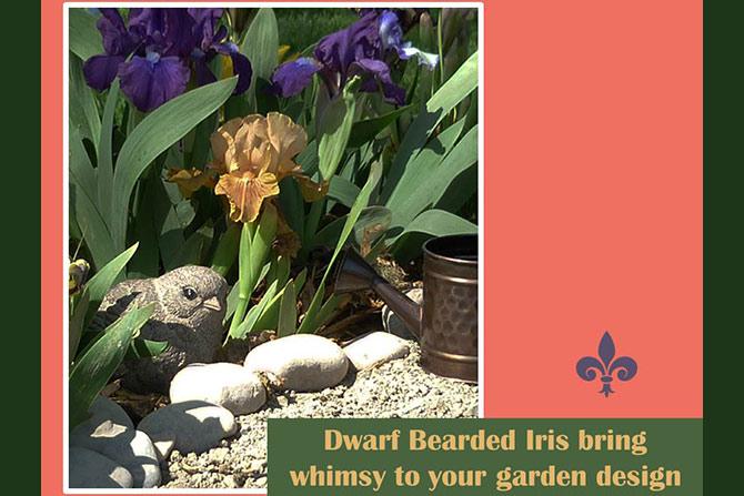 Dwarf Iris Garden Design