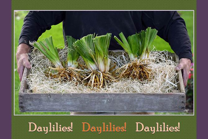 Daylily Tray