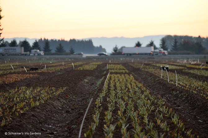 Dwarf Iris Field Planted