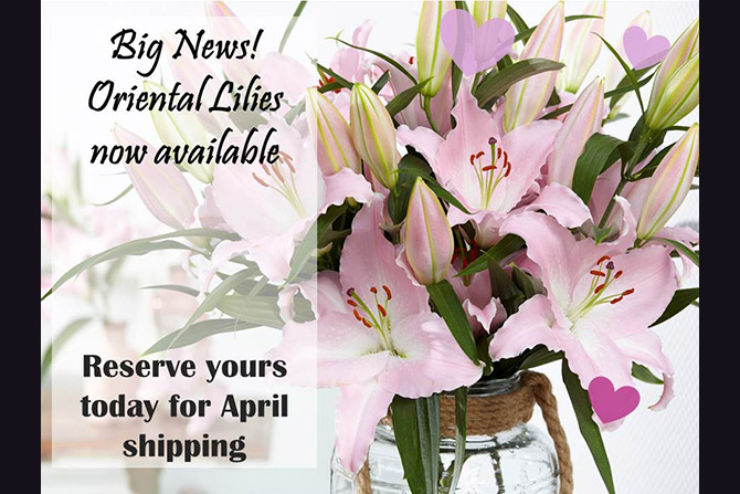 Oriental Lilies Now Available