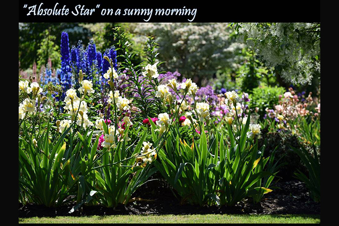 Absolute Star in Garden