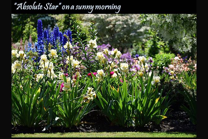 Schreiner's Iris Gardens | Iris Bulbs | Iris Plants
