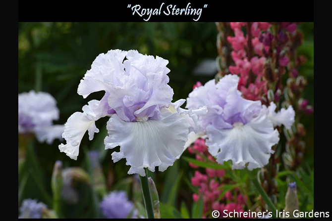 Royal Sterling in Garden