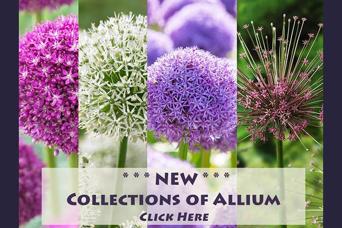 Allium - Spring Perennial