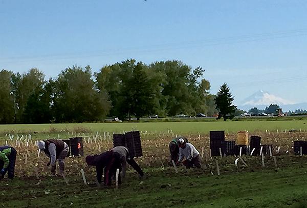 Planting Daylilies