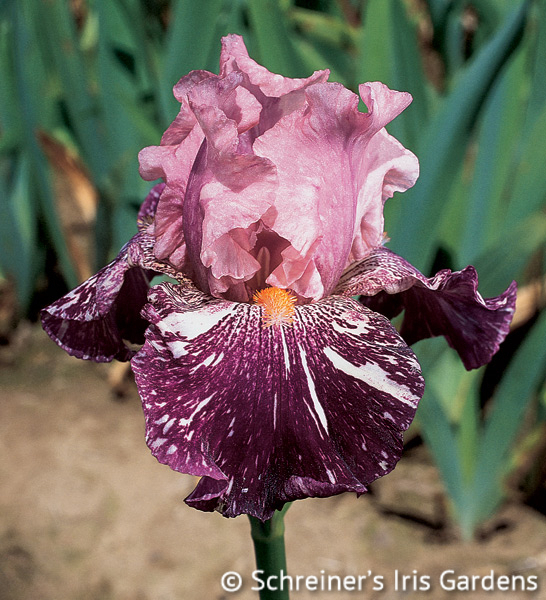 Anaconda Love | Pink Iris