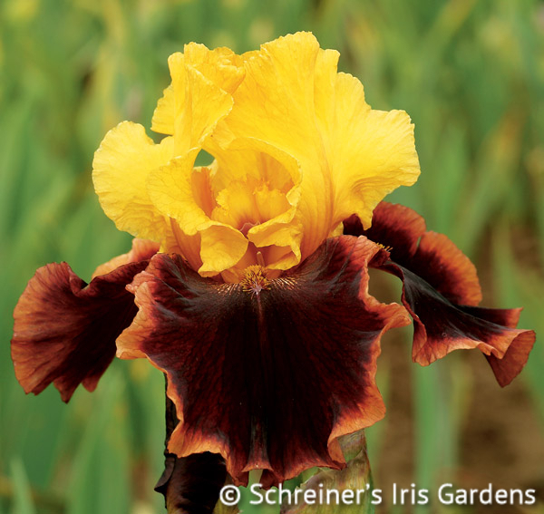 Ancient Echoes | Fragrant Iris