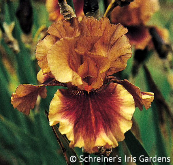 Apollodorus | Brown Iris