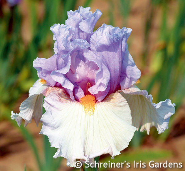 Belgian Princess | Fragrant Iris