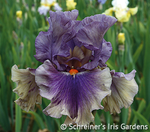 Berry Scary | Tall Bearded Iris
