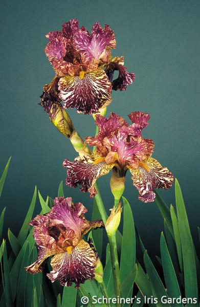 Bewilderbeast | Tall Bearded Iris