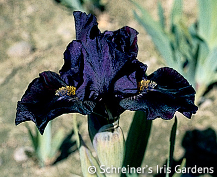 Black Suede | Purple Iris