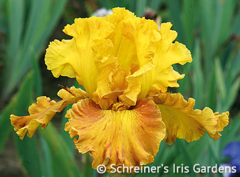 Blazing Beacon | Yellow Iris