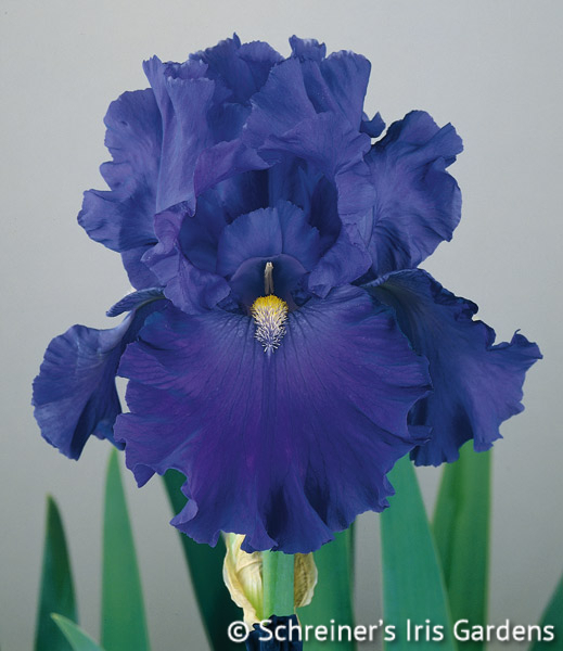 Blue Suede Shoes | Reblooming Iris: Colorful Summer Blossoms