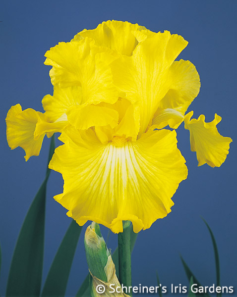 Bold Look | Tall Bearded Iris
