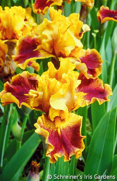Brat | Intermediate Bearded Iris
