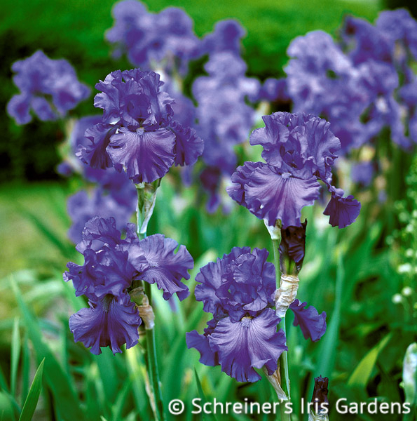 Breakers | Tall Bearded Iris
