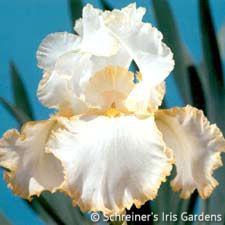 Bride's Halo | Historical Bearded Iris