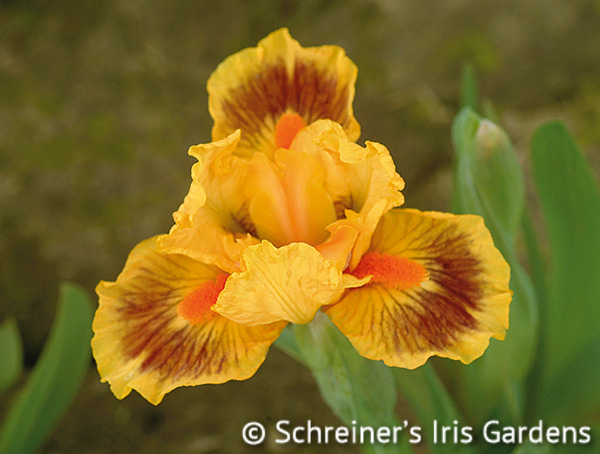 Bright | Yellow Iris