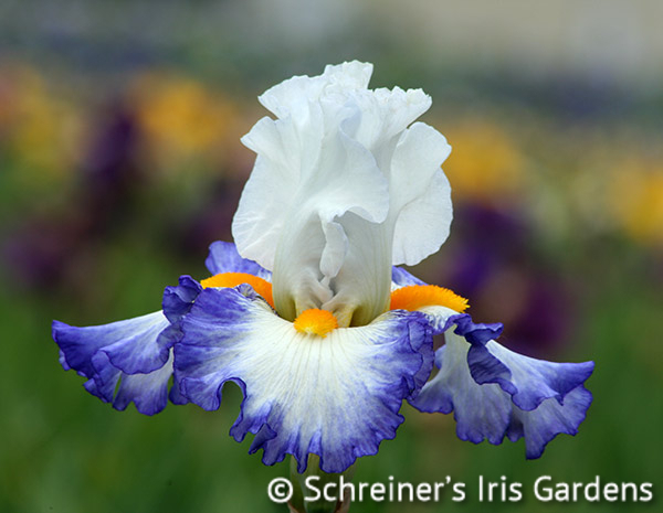 Brilliant Idea | Tall Bearded Iris