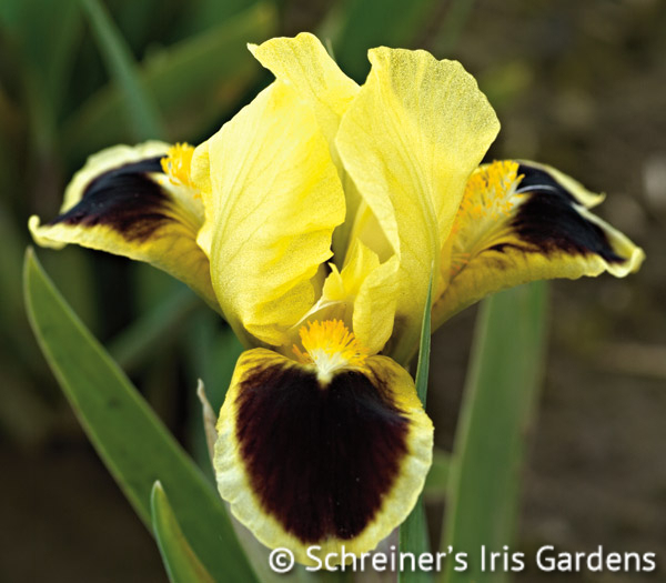 Bugsy | Yellow Iris