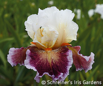 Care to Dance | Rose Iris